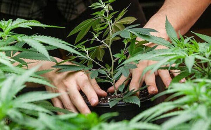 Cannabis : L'or vert du Maroc ?
