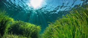 Posidonie, une plante marine capable de nettoyer le plastique