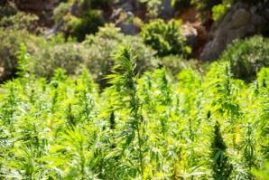 Cannabis : Les cultivateurs d'Al Hoceima et Chaouen créent une association