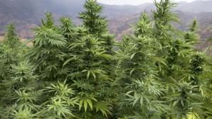 Le cannabis, une plante qui donne du vertige aux Pjdistes