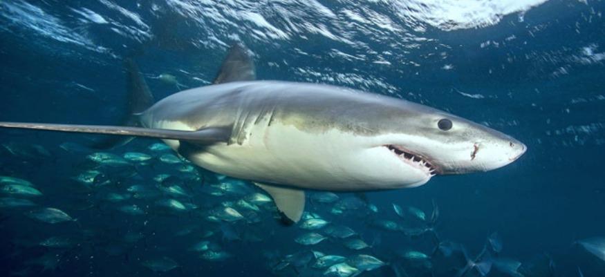 Faut-il avoir peur des requins au Maroc