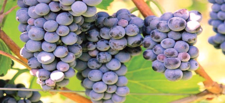 El Jadida : des vertus au raisin des Doukkala !