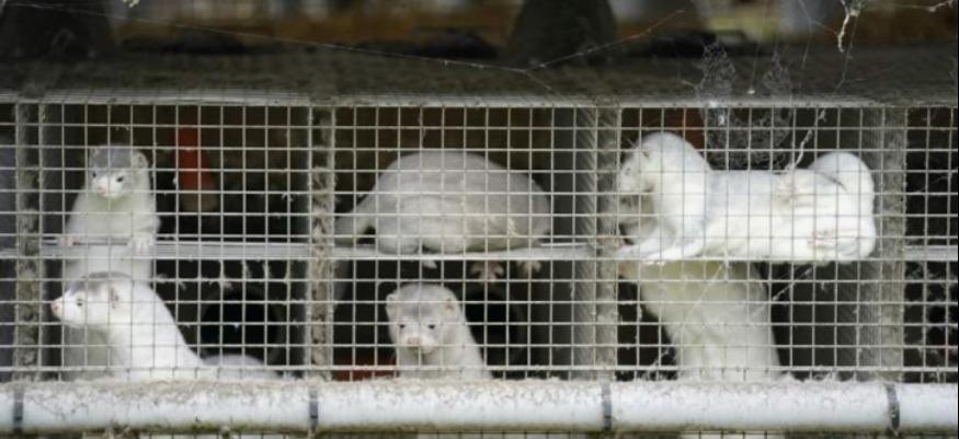 Danemark : Des millions de visons abattus à cause d'une mutation Covid-19