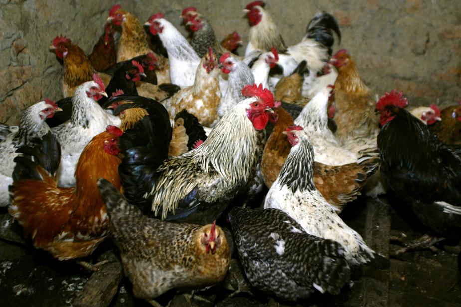 Transmission inter-espèces du virus de la grippe aviaire H5N8 a été détecté en Russie