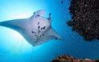 Les requins et les raies menacés d'extinction