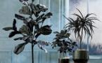 Des plantes originales de couleur noire