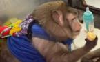Insolite : un singe obèse en camp de fitness pour maigrir