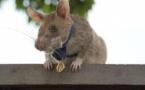 Magawa : Le rat détecteur de mines prend sa retraite