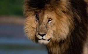 « Scarface » : Le Lion le plus célèbre du monde est mort