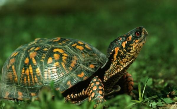 Les tortues en danger de disparition