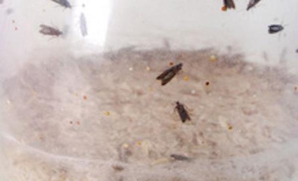 Comment se débarrasser des insectes et mites alimentaires ?