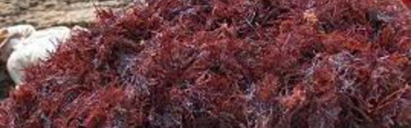 Collecte des algues rouges à Safi , une filière à forte valeur ajoutée